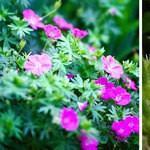 Технология посадки герани садовой многолетней