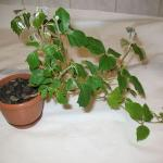 Берёзка комнатное растение — выращивание и уход