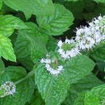 Семейство яснотковые (губоцветные) – Lamiaceae Lindl